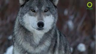 สารคดี สำรวจโลก ตอน สัมผัสชีวิตหมาป่า